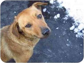 German Shepherd Dog/Rhodesian Ridgeback Mix Dog for adoption in Long Beach, New York - Mimi