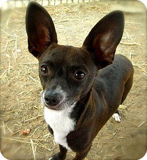Chihuahua Dog for adoption in El Cajon, California - Radar