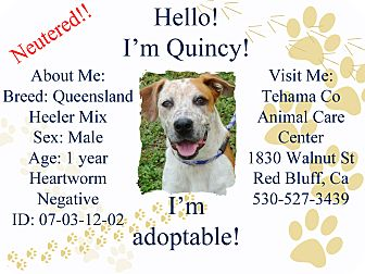 Australian Cattle Dog/Catahoula Leopard Dog Mix Dog for adoption in Red Bluff, California - Quincy URGENT $45 Adoption Fee