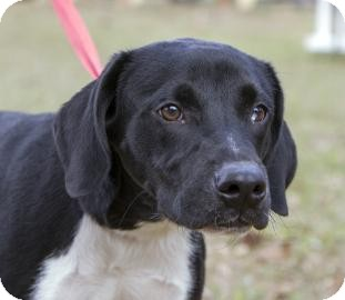 Labrador Retriever/American Pit Bull Terrier Mix Dog for adoption in Gainesville, Florida - Vader