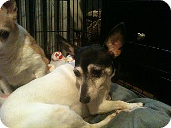Fox Terrier (Smooth) Mix Dog for adoption in Long Beach, New York - Sweetheart