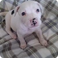 Adopt A Pet :: Snowball - Marlton, NJ