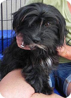 Scottie, Scottish Terrier/Shih Tzu Mix Dog for adoption in Winnetka, California - Tucker