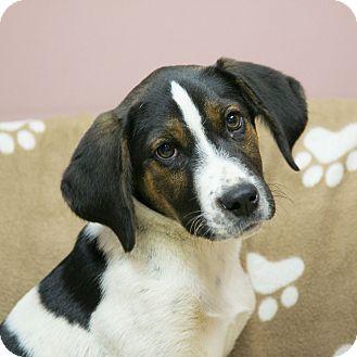 Hound (Unknown Type)/Beagle Mix Puppy for adoption in Staunton, Virginia - Monty
