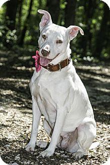 German Shepherd Dog/Labrador Retriever Mix Dog for adoption in Aubrey, Texas - Annie