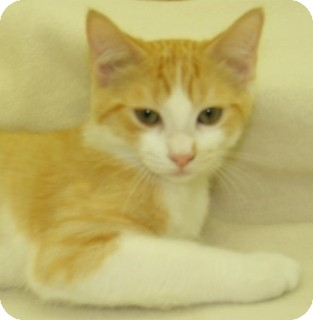 Domestic Shorthair Kitten for adoption in Olive Branch, Mississippi - Brewer