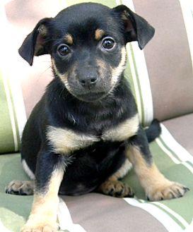 Miniature Pinscher/Chihuahua Mix Puppy for adoption in Cincinnati, Ohio - Puck