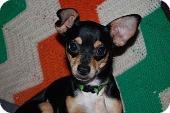 Chihuahua Dog for adoption in Charlotte, North Carolina - Miami