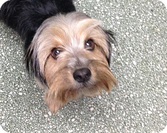 Yorkie, Yorkshire Terrier Mix Dog for adoption in Russellville, Kentucky - Charlie