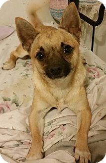 Chihuahua Mix Dog for adoption in Detroit, Michigan - Fritz