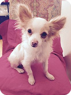 Papillon/Chihuahua Mix Dog for adoption in Carlsbad, California - FIONA
