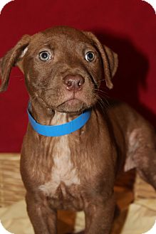 Labrador Retriever/Pit Bull Terrier Mix Puppy for adoption in Waldorf, Maryland - Neil