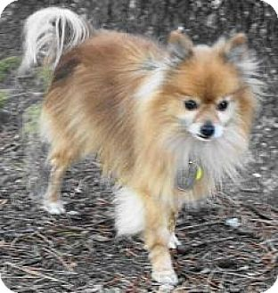 Pomeranian Dog for adoption in Rockville, Maryland - Sunday