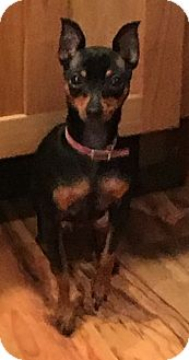 Miniature Pinscher Mix Dog for adoption in Newtown, Connecticut - Lily