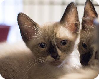 Siamese Kitten for adoption in Houston, Texas - Kitten 3