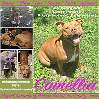 American Pit Bull Terrier Mix Dog for adoption in Hearne, Texas - Camellia