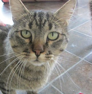 Domestic Shorthair Cat for adoption in Ridgway, Colorado - Newby