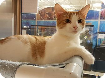 Domestic Shorthair Cat for adoption in Smithfield, North Carolina - Mittens SPECIAL ADOPTION FEE