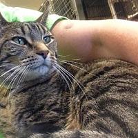 Adopt A Pet :: Grey - Anderson, IN
