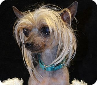 chinese crested terrier tank adoption pending adopted dog bridgeton mo 2301