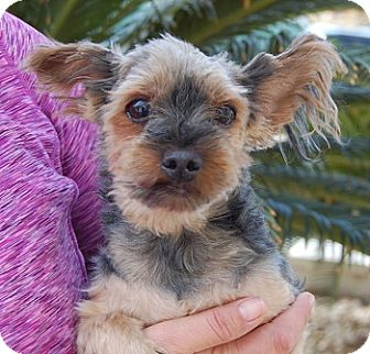 Yorkie, Yorkshire Terrier Mix Dog for adoption in Las Vegas, Nevada - Tommy