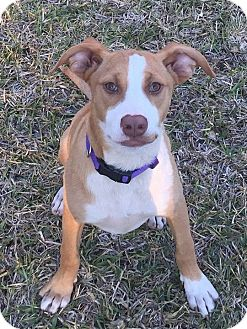 Hound (Unknown Type)/Labrador Retriever Mix Puppy for adoption in North East, Florida - Missy