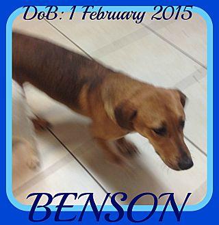 Basset Hound/German Shepherd Dog Mix Dog for adoption in Middletown, Connecticut - BENSON - $250