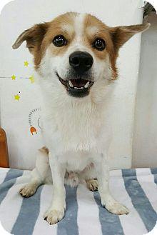 Welsh Corgi/Spitz (Unknown Type, Small) Mix Dog for adoption in LONG ISLAND CITY, New York - Bingo
