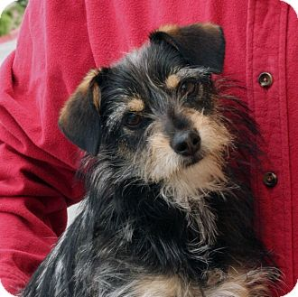 Terrier (Unknown Type, Small) Mix Puppy for adoption in Palmdale, California - Parker