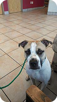 Boxer/Terrier (Unknown Type, Medium) Mix Puppy for adoption in Albuquerque, New Mexico - Falcor