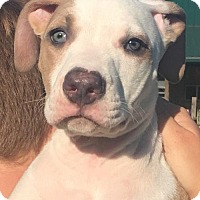 American Staffordshire Terrier Puppy for adoption in Mooresville, Indiana - Adonis Blue Eyes
