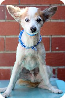 Papillon Mix Dog for adoption in Waldorf, Maryland - Opie