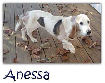 Basset Hound Dog for adoption in Marietta, Georgia - Anessa