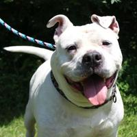 American Bulldog/American Pit Bull Terrier Mix Dog for adoption in Portage, Wisconsin - Anna