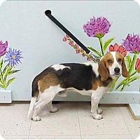 Beagle Mix Dog for adoption in Pittsboro, North Carolina - Charlie
