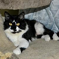 Domestic Mediumhair Cat for adoption in Vancouver, British Columbia - Mrs. Fitz
