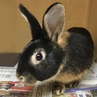 American/American Mix for adoption in Voorhees, New Jersey - Sapphire