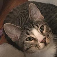 Adopt A Pet :: Gunner - Auburn, CA
