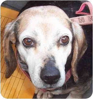 Beagle Dog for adoption in Ventnor City, New Jersey - MAGGIE