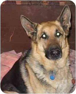 German Shepherd Dog Dog for adoption in Hamilton, Montana - Cleatus