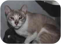Siamese Cat for adoption in Marietta, Georgia - Myles
