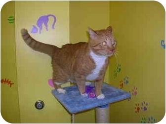 Domestic Shorthair Cat for adoption in HARRISONVILLE, Missouri - Sunrise