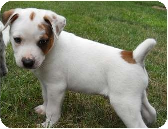 Jack Russell Terrier Mix Puppy for adoption in Broadway, New Jersey - Marlin