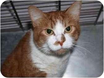 Domestic Mediumhair Cat for adoption in El Cajon, California - Phoebe