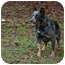 Photo 3 - Australian Cattle Dog Dog for adoption in Siler City, North Carolina - River