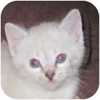 Domestic Shorthair Kitten for adoption in Richfield, Ohio - Beth's spring Litter
