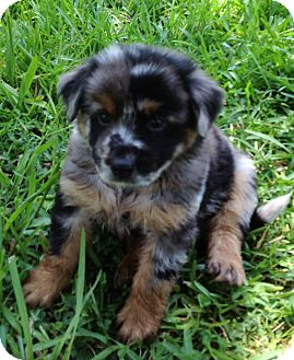 Australian Cattle Dog/Australian Shepherd Mix Puppy for adoption in Harrah, Oklahoma - Merle