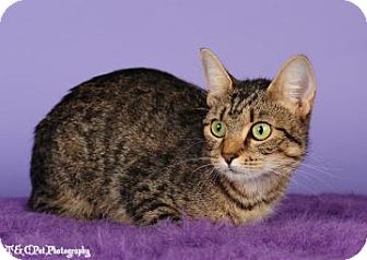 Domestic Shorthair Cat for adoption in Columbus, Georgia - Aristine 0D5B