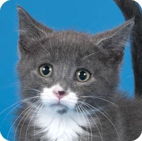 Domestic Shorthair Kitten for adoption in Chicago, Illinois - Opie