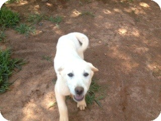 Labrador Retriever Puppy for adoption in hartford, Connecticut - Lab puppies